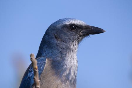 blue jay bird: Florida Scrub Jay