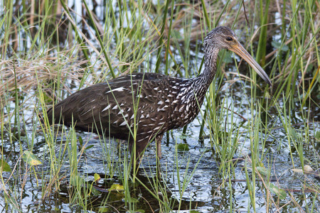 wetlands: Limpkin, Florida Wetlands
