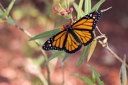 Male monarch butterfly on milkweed
