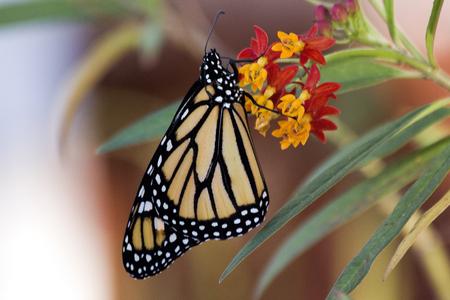 milkweed butterfly: Monarch butterfly on tropical milkweed