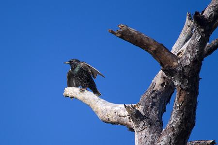 toter baum: Starling hockte auf totem Baum Lizenzfreie Bilder