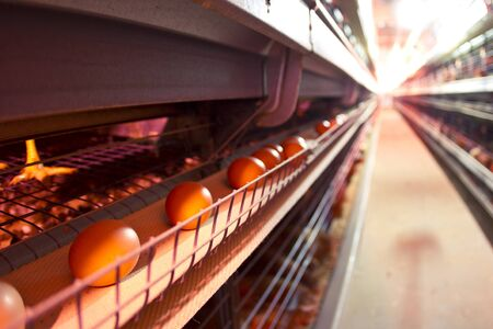 egg laying: Chicken industrial farm - battery cages Stock Photo