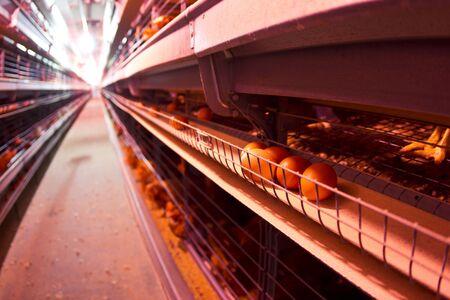 granja avicola: Pollo industrial agrícola - las jaulas en batería