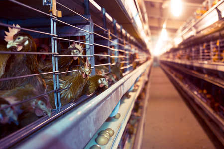 Chicken industrial farm - battery cages Stock Photo