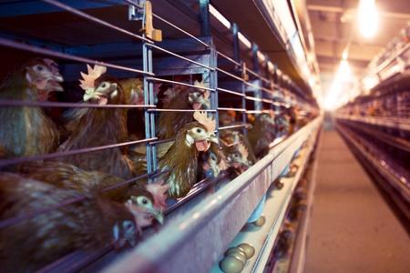 gallina con huevos: Pollo granja industrial - las jaulas en batería Foto de archivo