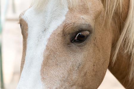 trakehner: portrait of horse in the dhaka national zoo, bangladesh Stock Photo