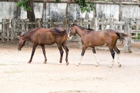 trakehner: horse standing in the dhaka national zoo, bangladesh