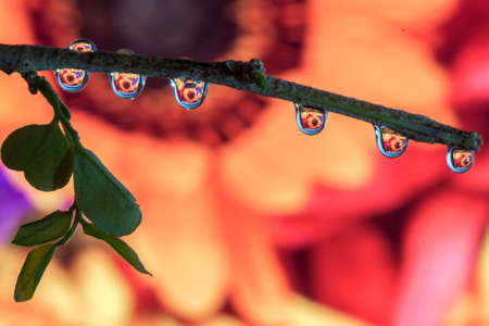 dew drop: Branch with Water Drops and Flower Reflection macro photo