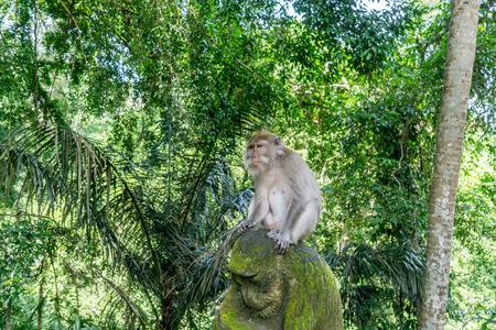 monkey are sitting in the monkey forest at Ubud, Bali Stock Photo