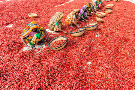Bogra, Bangladesh - February 17, 2017: Women are working to dry the red chillies in the sariakandi, Bogra.