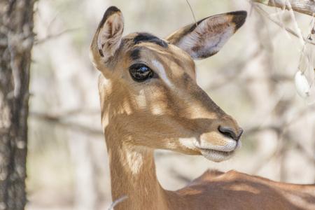 big eye: Impala Rooibok close up side big eye
