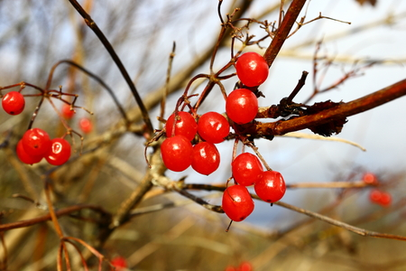Ripe red berries of viburnum on a branch.