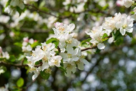 Apple blossom in spring. White flowers on Apple tree.