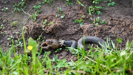 The snake caught a large toad. Snake hunt