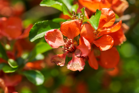 Bright orange quince flowers and green leaves. Summer background Фото со стока