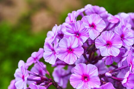 The Phlox paniculata in the garden. Beautiful floral background.