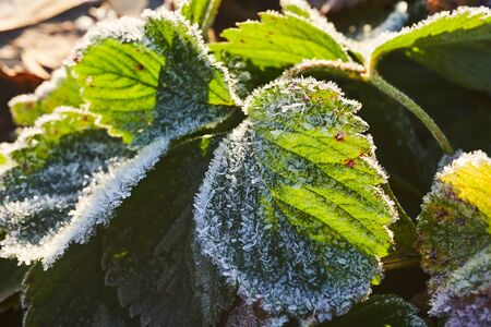 Strawberry leaves covered with ice crystals in the morning sun. Zdjęcie Seryjne