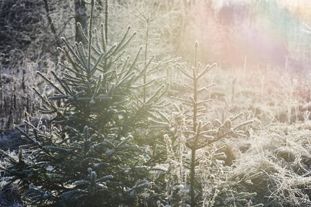 Beautiful winter landscape with fir trees covered with ice crystals. Zdjęcie Seryjne