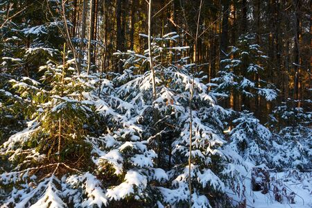 The winter forest is covered with snow. The suns rays penetrate the trees. Christmas trees covered with snow in the forest.