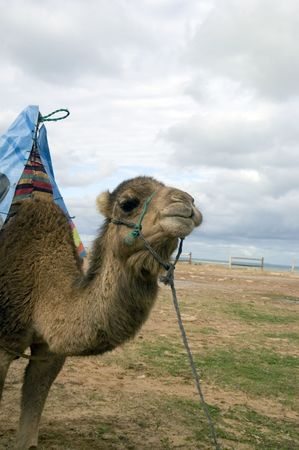 Camel on the Tangier beach waiting for tourists. Marocco.
