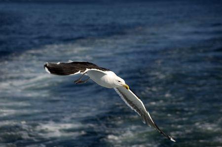 plum island: Seagull flying above the waves. Plum island, MA