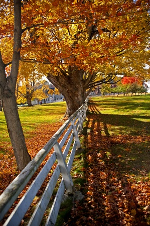 Old maple tree in fall with brightly colored leaves.  photo