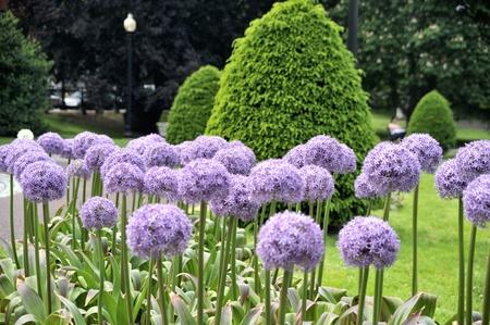 Blooming flowers in Boston Public Garden Stock Photo