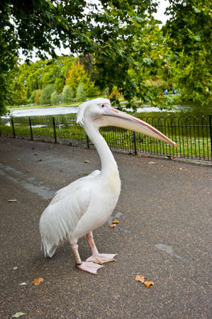 A white pelican, a famous resident of the St. James Park in London.
