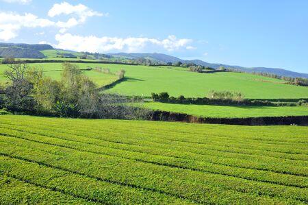 portugal agriculture: Tea Plantation Azores Islands Stock Photo