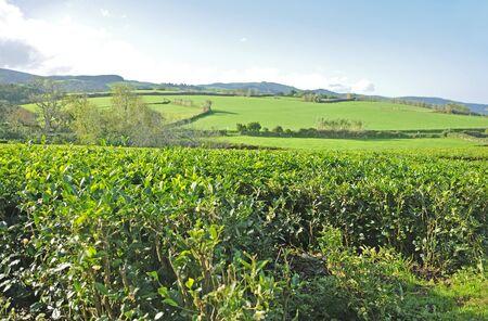 agriculture azores: Tea Plantation Azores Islands Stock Photo