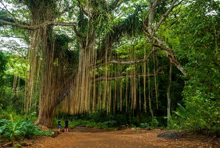 The giant banyan tree in the historical Lahaina town,Maui island, Hawaii
