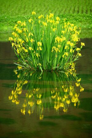 glower: A narcissus and its reflection
