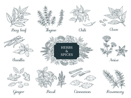 Hand drawn spices. Indian food herbs and vegetables, Italian and Asian ingredients, chili thyme and ginger vector illustration vintage sketch