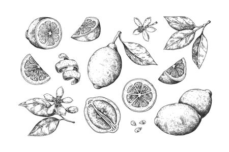 Hand drawn lemon. Vintage citrus slices blossom and fruits, lemon and lime pencil outline sketch for juice labels. Vector engraving illustration summer food set