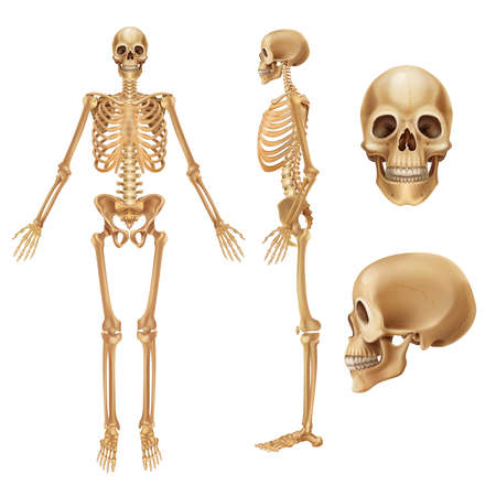 Human skeleton. Realistic front view of bones and joints, medical 3D illustration of skeleton elements. Vector anatomy illustration people skeletons on white background Stock Illustratie