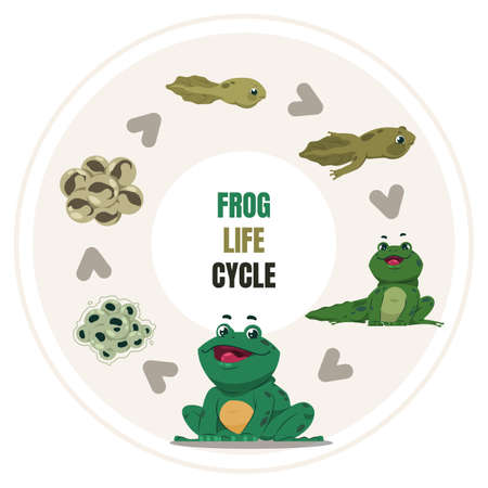 Frog life cycle. Cartoon amphibian growth steps. Circular diagram of toad development, from frogspawn and tadpole to adult. Vector colorful educational poster about froglet transformation or reproduce
