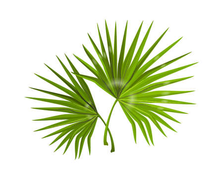 Jungle leaves. Realistic monstera branches with narrow long foliage. Composition of tropical forest plants. Decorative natural background for spa and beauty poster. Vector palm greenery
