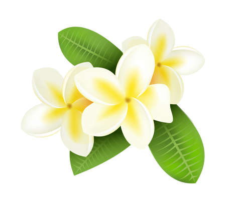 Realistic plumeria. Frangipani tropical plants with white and yellow petals. Isolated blooming flowers and green leaves. Hawaiian flora. Decorative botanical element. Vector blossom