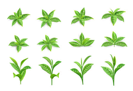 Tea leaves. Realistic green tree foliage. Branches with young twigs and dew. Isolated bush greenery set. Morning drink natural ingredients on white. Vector organic plants stems collection Ilustracja