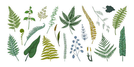 Fern leaves. Hand drawn sketch of forest foliage. Plant bourgeons and sprouts. Bracken or horsetail fronds. Vintage botanical collection graphic template. Vector flora elements set Ilustracja
