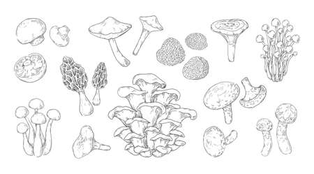 Hand drawn mushrooms. Vintage sketch of champignon and oyster fungus. Shiitake and truffle. Gourmet morel. Forest chanterelles and porcini. Vector engraving of vegetable plants set