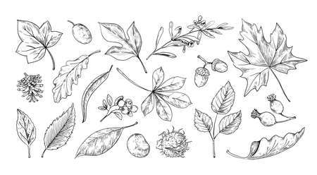 Autumn leaves sketch. Hand drawn fall foliage of chestnut, maple and oak. Botanical herbarium collection. Acorns and rosehip berry. Natural engraving elements set. Vector isolated plants