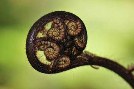 Young silver fern