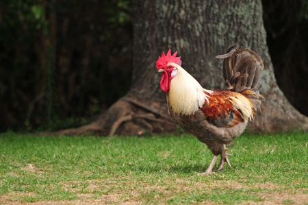 cockrel: Rooster on a walk Stock Photo