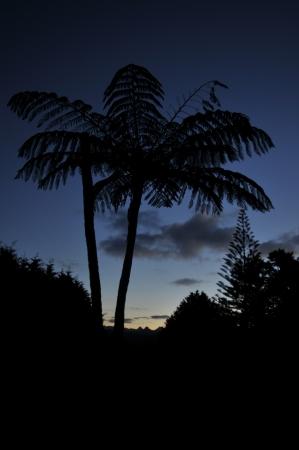 silver fern: Silver fern silhouette at night
