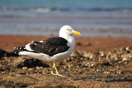 larus: New Zealand black backed gull Larus Dominicanus  Karoro  on beach Stock Photo