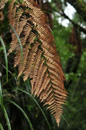 silver fern: Brown aged silver fern branch with green dense bush in background