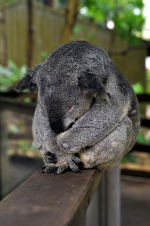 Adult koala sleeping while sitting on railings