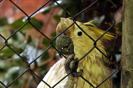 Sulphur-crested Cockatoo Cacatua galerita galerita imprisoned behind aviary mesh Stock Photo