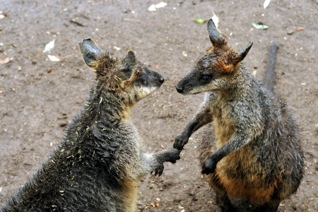 reminding: Two kangaroos in pose reminding handshaking Stock Photo